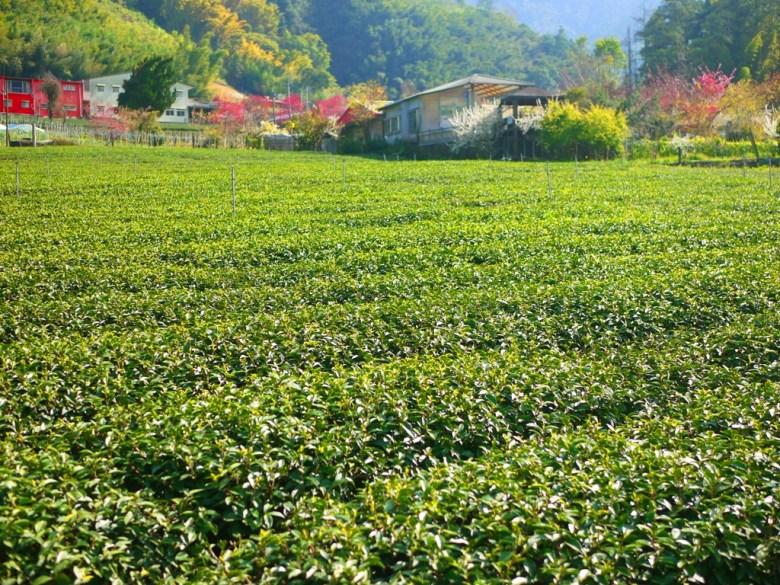 玉山茶園 | 海拔1,300公尺 | 高山茶園 | 涼涼微風 | 草坪頭玉山觀光茶園 | 信義 | 南投 | RoundtripJp