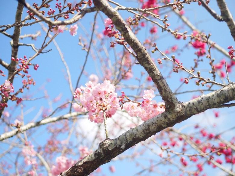 青空與櫻 | 天很藍 | 櫻粉嫩 | 草坪頭玉山觀光茶園 | 信義 | 南投 | RoundtripJp
