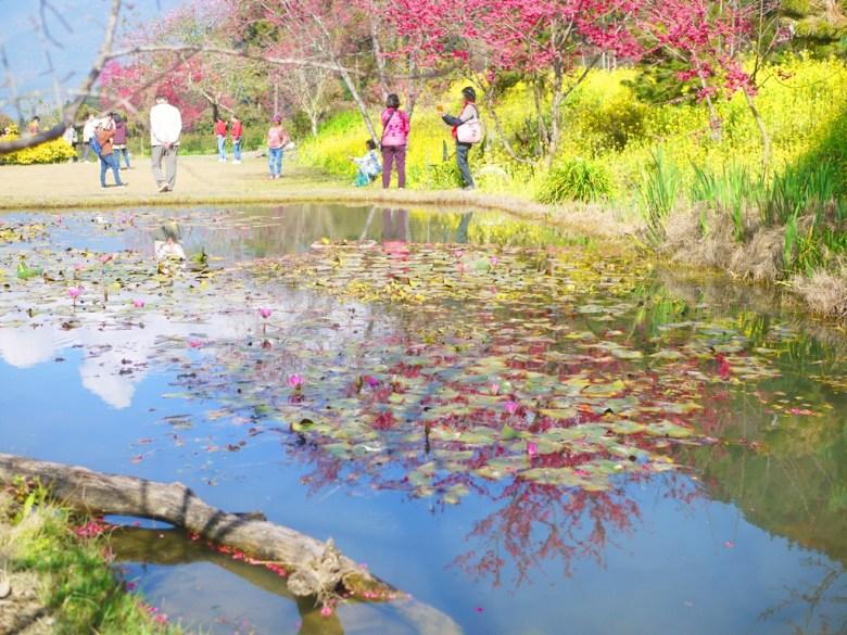 櫻花與荷花池 | 油菜の花田 | 山櫻花 | 草坪頭玉山觀光茶園 | 信義 | 南投 | RoundtripJp