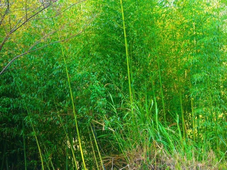 翠綠的美麗竹林 | 台21線新中橫公路 | 信義 | 南投 | 巡日旅行攝