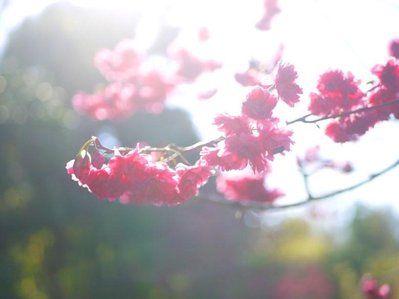 燦爛的山櫻花 | 緋寒櫻 | 八重櫻 | Sakura | 漳和撼龍步道 | Zhang Heli | Nantou | RoundtripJp