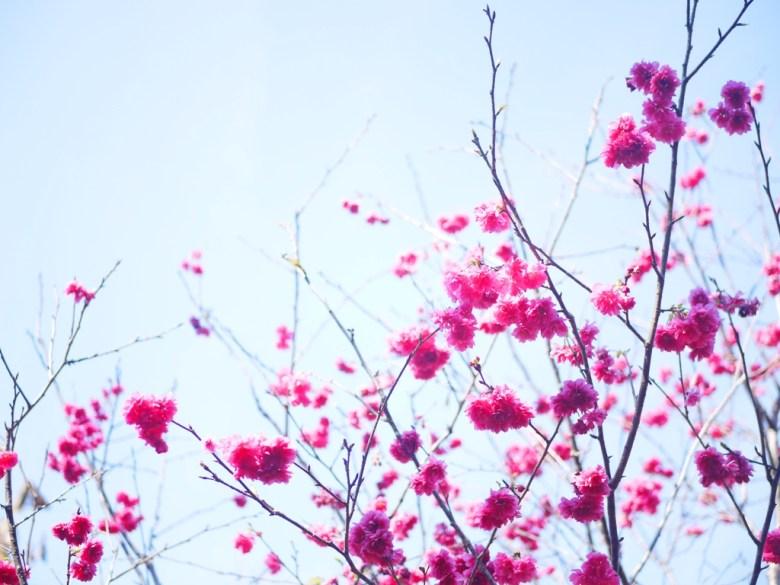 青空與紅櫻 | 漳和撼龍步道櫻花秘境 | 前段櫻花區入口 | Zhang Heli | Nantou | RoundtripJp