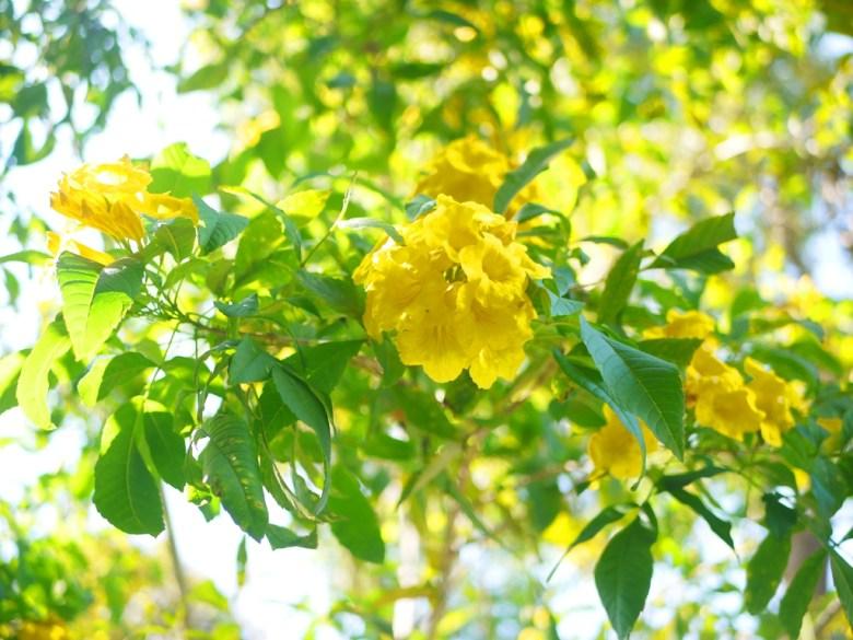 黃色喇叭花 | 牽牛花 | 朝顏 | 漳和撼龍步道 | Zhang Heli Dragon Trail | 巡日旅行攝