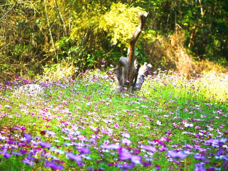 波斯菊花園 | 滿開美麗的波斯菊花海 | 漳和撼龍步道櫻花秘境 | Zhang Heli Dragon Trail | 漳和 | 南投 | 巡日旅行攝