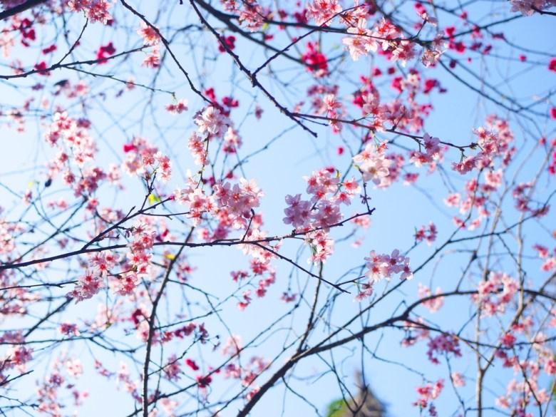 富士櫻與青空 | 粉嫩粉紅 | 中段櫻花區 | 漳和撼龍步道 | 漳和 | 南投 | Zhang Heli Dragon Trail | RoundtripJp