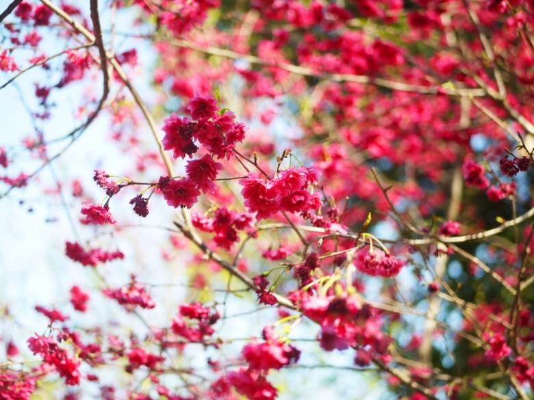 八重櫻 | 牡丹櫻 | 中段櫻花區 | 漳和撼龍步道櫻花秘境 | Zhang Heli | Dragon Trail | 巡日旅行攝