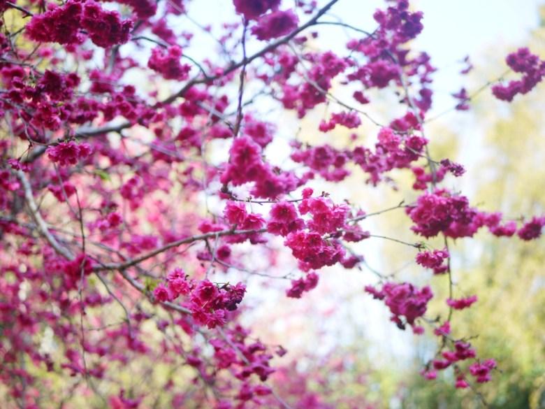 美麗的緋寒櫻 | 山櫻花 | 中段櫻花區 | 漳和撼龍步道櫻花秘境 | Zhang Heli | Dragon Trail | RoundtripJp