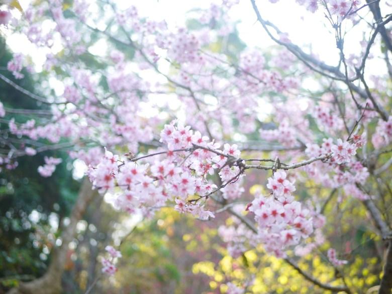 富士櫻 | 賞櫻精華 | 中段櫻花區 | 漳和撼龍步道櫻花秘境 | Zhang Heli | Dragon Trail | RoundtripJp