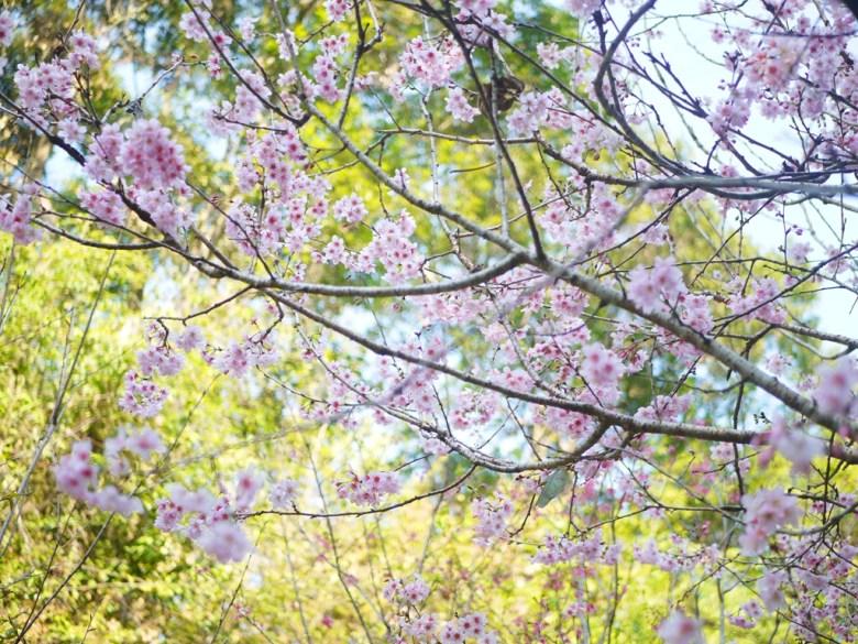 富士櫻 | 盛開的櫻花 | 綠色清新 | 中段櫻花區 | 漳和撼龍步道櫻花秘境 | Zhang Heli | Dragon Trail | 巡日旅行攝