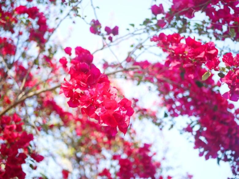 滿開的紅花與藍天 | 漳和撼龍步道 | 漳和 | 南投 | Zhang Heli Dragon Trail | 巡日旅行攝
