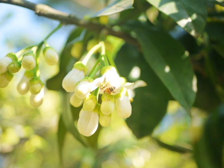 結果的柚子 | 小蜜蜂與柚 | 柚香步道 | 漳和撼龍步道 | Zhang Heli | Dragon Trail | RoundtripJp