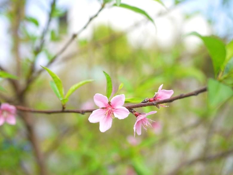 為數不多的美麗桃花 | Hushanyan | Huatan | Changhua | Wafu Taiwan | RoundtripJp