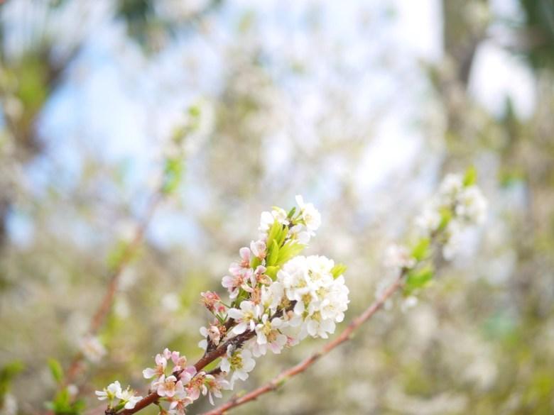 美麗的李花 | 機車停車場前 | 虎山巖正門旁邊 | 虎山巖 | 花壇 | 彰化 | 和風臺灣 | 巡日旅行攝