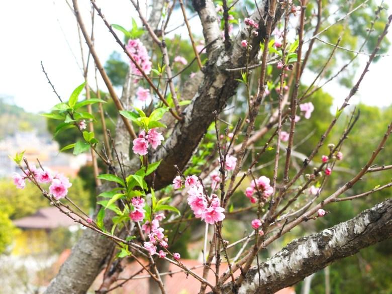 粉嫩的山櫻花 | 八重櫻 | Sakura | さくら | サクラ | 日本味 | 虎山巖 | 花壇 | 彰化 | 巡日旅行攝