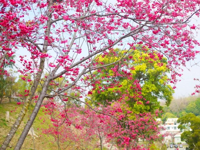 八重櫻 | Sakura | さくら | サクラ | 紅的鮮豔 | 綠的清新 | 矮房高山 | 虎山巖 | 花壇 | 彰化 | 巡日旅行攝