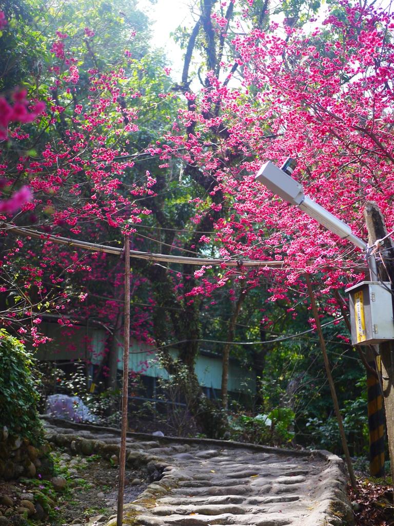 蜿蜒彎曲的櫻花小徑 | 清新自然 | Yuanlin | Changhua | RoundtripJp