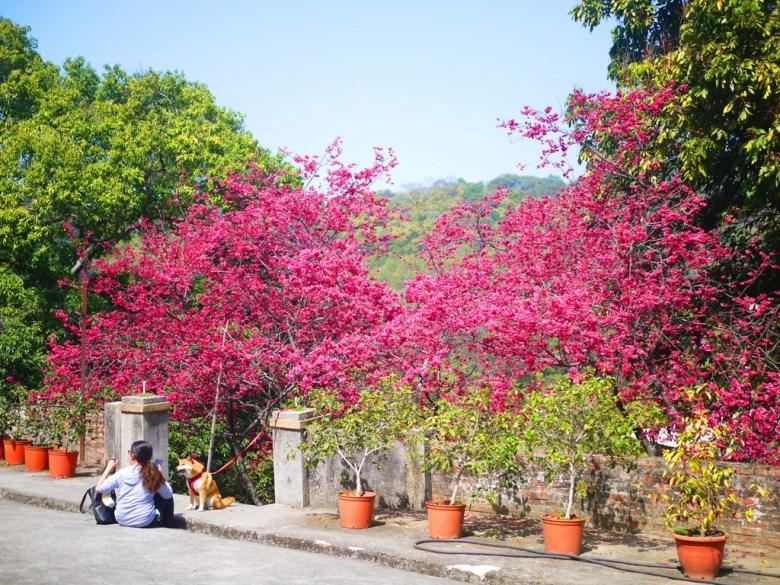 滿滿的八重櫻 | 與綠色大自然 | 與可愛柴柴一同賞花的女孩 | 美麗的八重櫻秘境 | 湖水 | 員林 | 彰化 | 巡日旅行攝