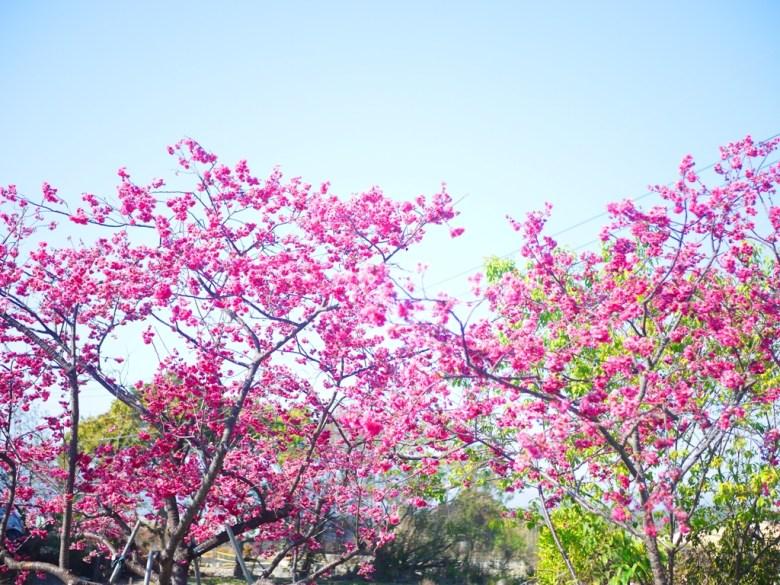 八重櫻 | 天氣晴朗 | 泰安派出所櫻花大道 | Taian | Miaoli | Wafu Taiwan | 巡日旅行攝