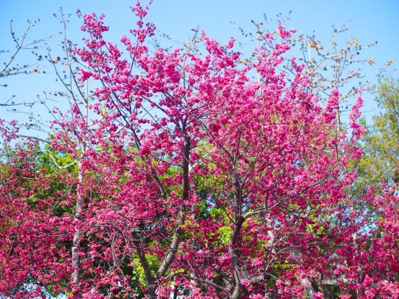 盛開的美麗八重櫻 | 櫻花季時間 | Taian | Miaoli | 泰安 | 苗栗 | 巡日旅行攝