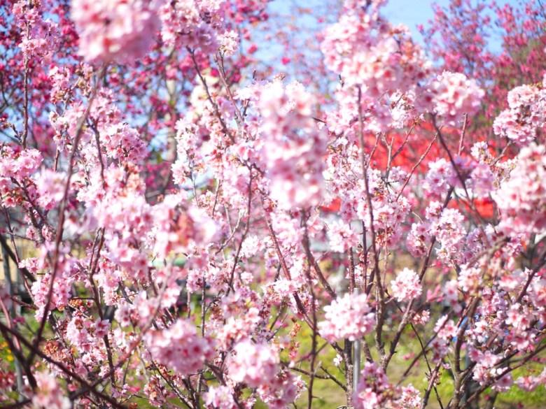 盛開的香水櫻 | 有著香味的櫻花 | 私人園區 | 收費櫻花景點 | 泰安 | 苗栗 | 巡日旅行攝