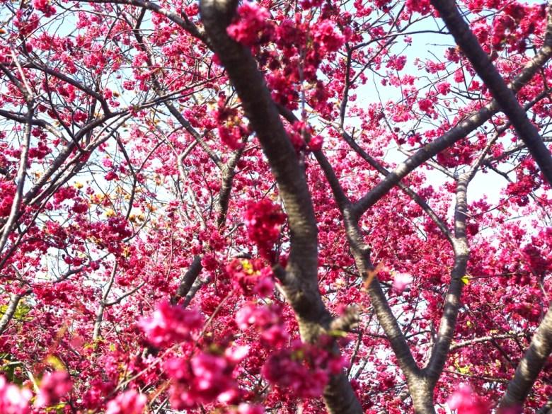 鮮豔滿開的八重櫻 | 泰安櫻花大道 | 美不勝收 | 泰安 | 苗栗 | Taian | Miaoli | 巡日旅行攝