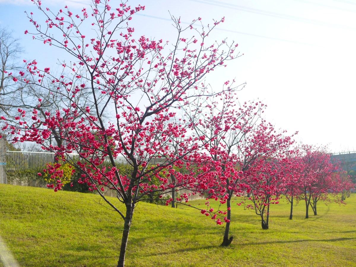 台灣電力公司后里超高壓變電所前 | 櫻花並木 | 美麗的綠色草皮 | 網美景點 | Taian | Miaoli | RoundtripJp
