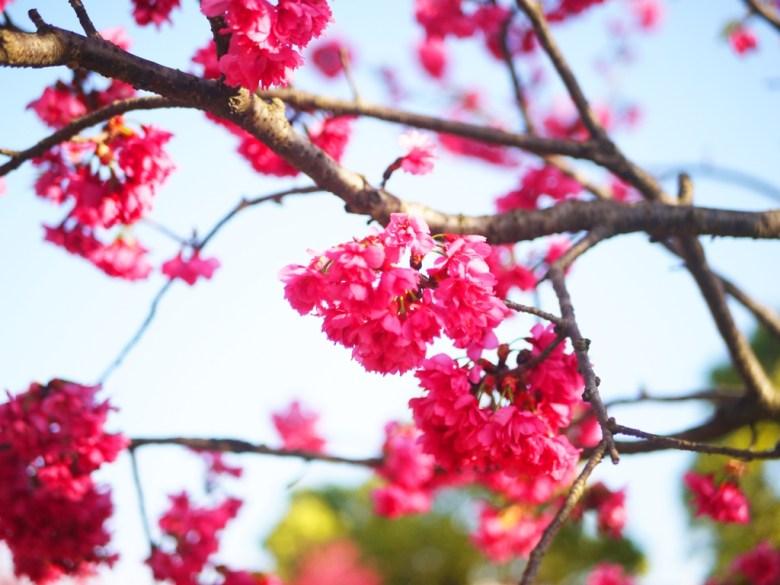 飽滿鮮豔 | 盛開美麗 | 山櫻花 | 八重櫻 | 緋寒櫻 | 后里 | 台中 | 和風臺灣 | RoundtripJp
