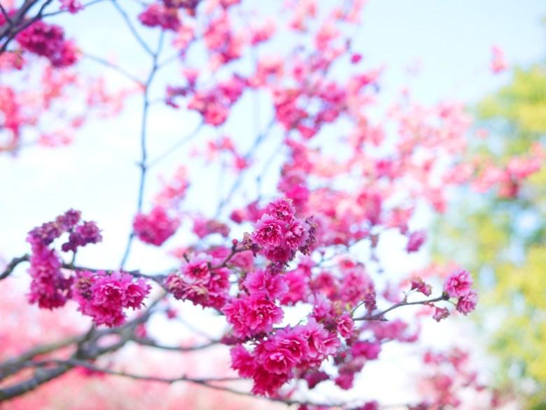 桃紅的山櫻 | 日本味 | 桃紅色 | 櫻花公園 | Houli | Taichung | 巡日旅行攝