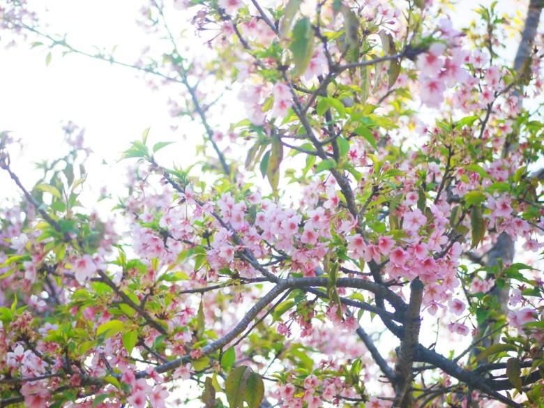 濃濃日本風情 | 河津櫻 | 台中后里櫻花公園 | Houli | Taichung | RoundtripJp