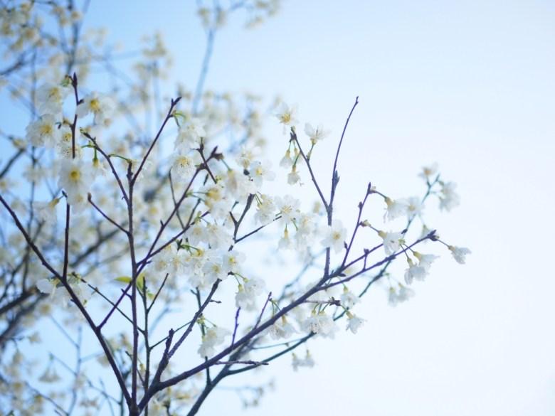 日本綠萼樱 | 臺灣福爾摩沙櫻 | 臺灣原生白山櫻亞種 | 純白夢幻潔淨夢想 | Houli | Taichung | RoundtripJp