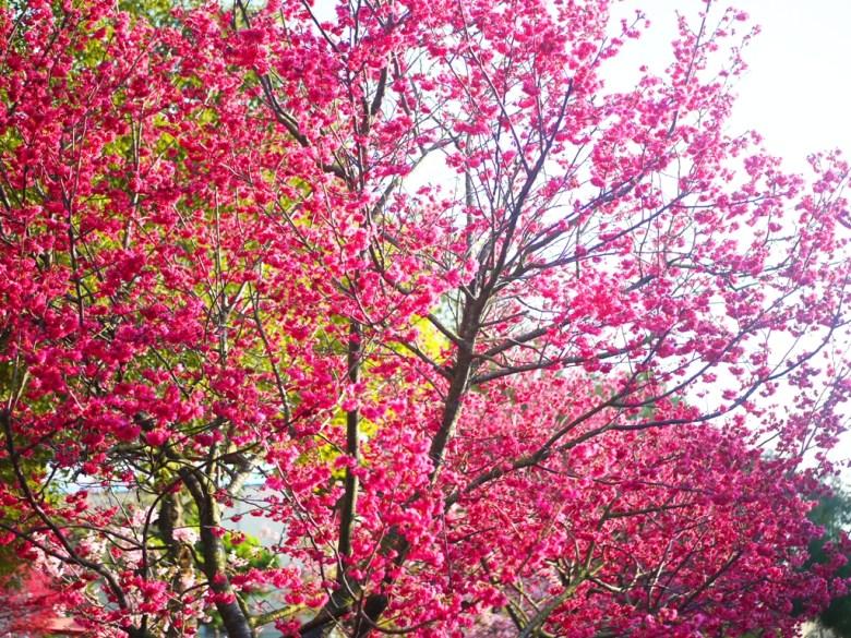 大滿開的八重櫻 | 滿滿粉紅色彩 | 濃濃日本味 | Houli | Taichung | 巡日旅行攝
