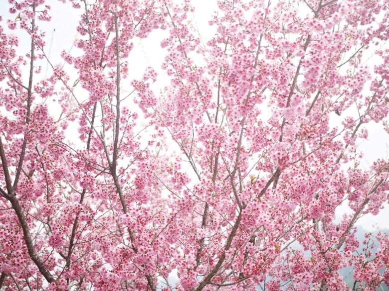 大滿開的櫻花海   粉紅畫面   美不勝收   紅粉佳人   櫻花大道   石壁風景區   石壁   古坑   雲林   和風巡禮   巡日旅行攝