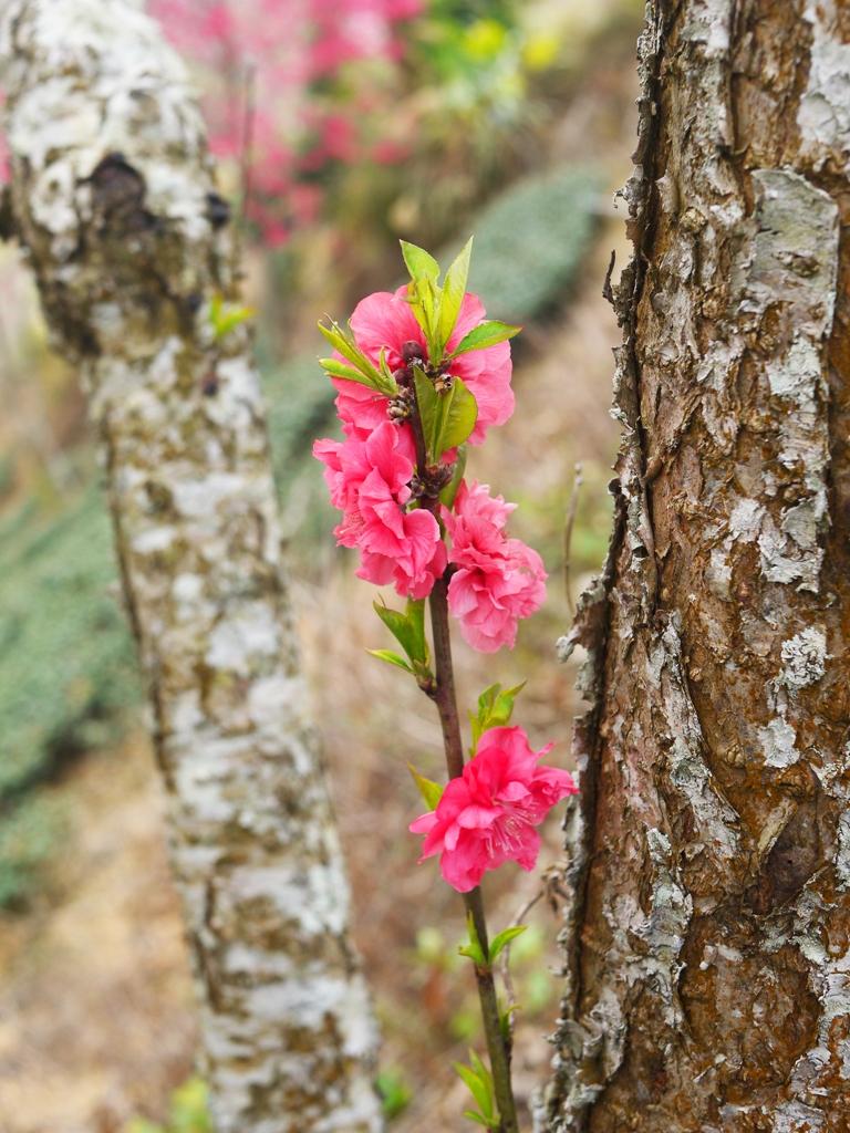 小嫩枝的紅杏花 | 新生嫩芽 | 美麗紅花 | 石壁風景區 | 石壁 | 古坑 | 雲林 | 巡日旅行攝