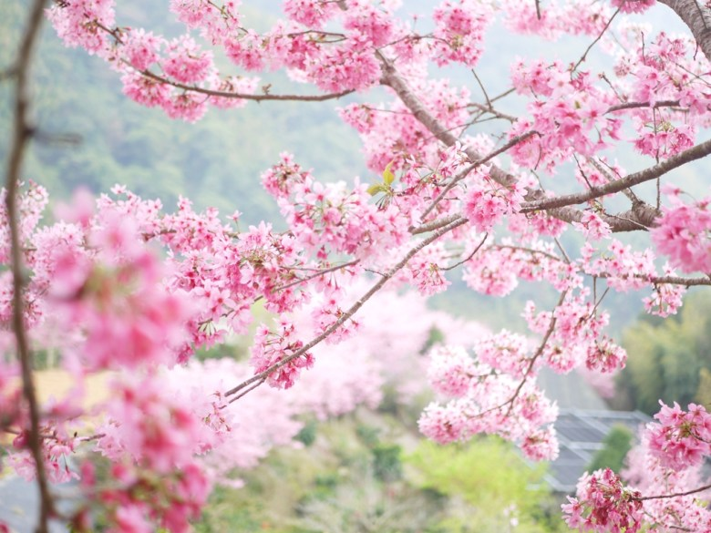 飽滿圓潤   向是在樹上的粉紅繡球花   繡球花櫻花   紅粉佳人   櫻花大道   石壁風景區   石壁   古坑   雲林   RoundtripJp