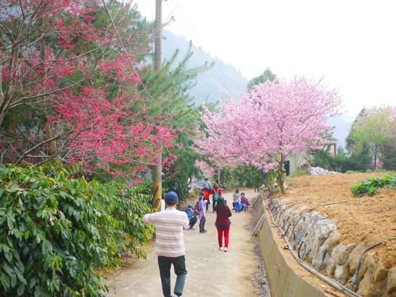 山櫻花 | 紅粉佳人 | 往美人谷賞櫻環線 | 臺灣觀光客 | 石壁 | 古坑 | 雲林 | RoundtripJp
