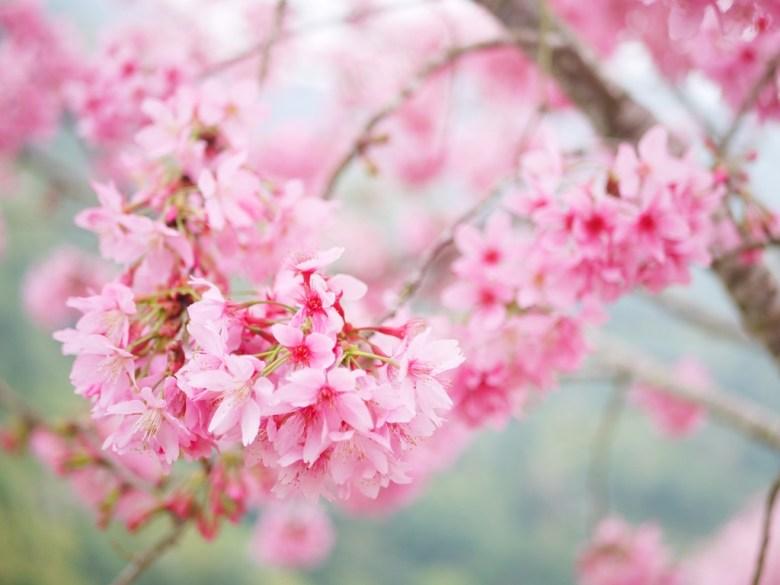 紅粉佳人   粉紅飽滿   少女系顏色   超級飽滿   石壁   古坑   雲林   RoundtripJp