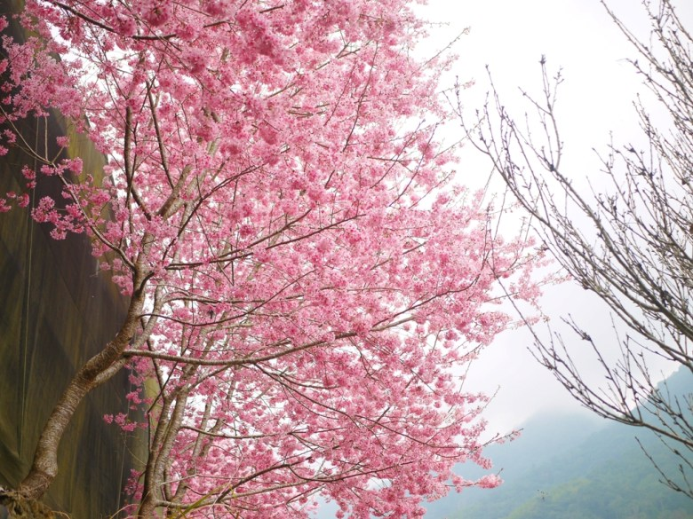 猶遮半邊天   粉紅的紅粉佳人   雲霧繚繞的青山   石壁風景區   Gukeng   Yunlin   RoundtripJp