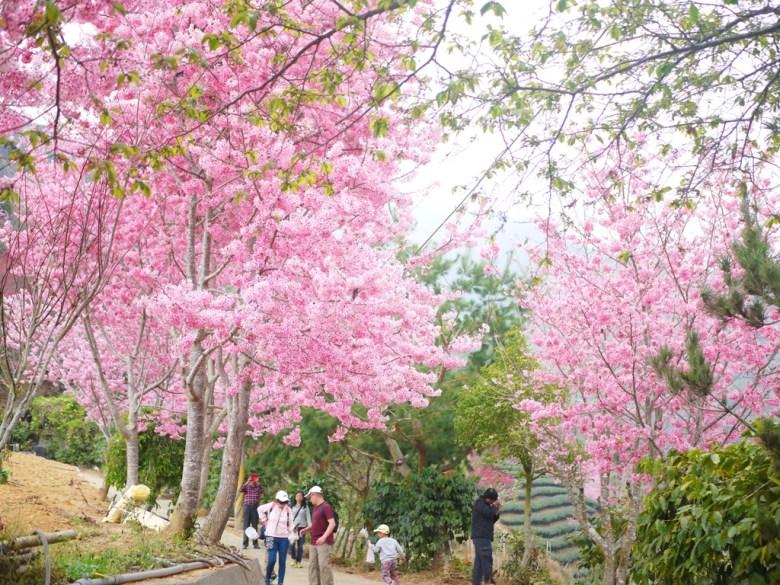 滿開的紅粉佳人   臺灣觀光客   石壁風景區   Gukeng   Yunlin   RoundtripJp