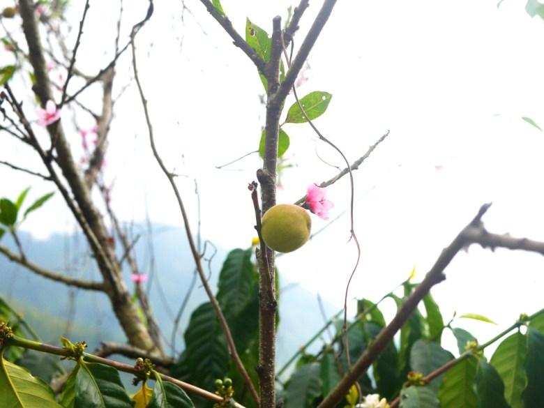 桃花 | 可愛桃子 | 小桃子 | 新生 | 石壁風景區 | Gukeng | Yunlin | 巡日旅行攝