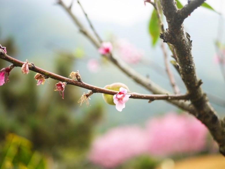 桃花與桃子 | 自然的美味 | 石壁風景區 | Gukeng | Yunlin | RoundtripJp