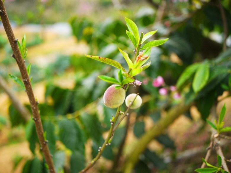 美麗的桃子 | 桃花 | 桃花樹 | 石壁風景區 | Gukeng | Yunlin | 巡日旅行攝