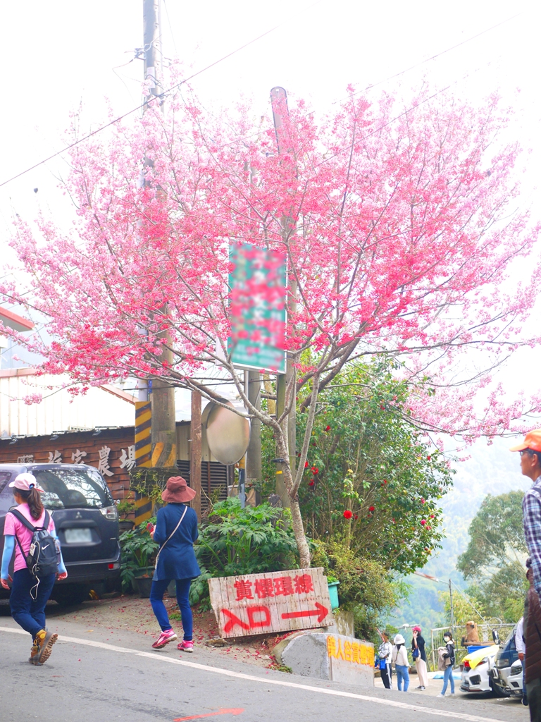 賞櫻環線入口 | 往下美人谷賞櫻環線 | 往左前為第二條櫻花大道 | 石壁風景區 | Gukeng | Yunlin | RoundtripJp