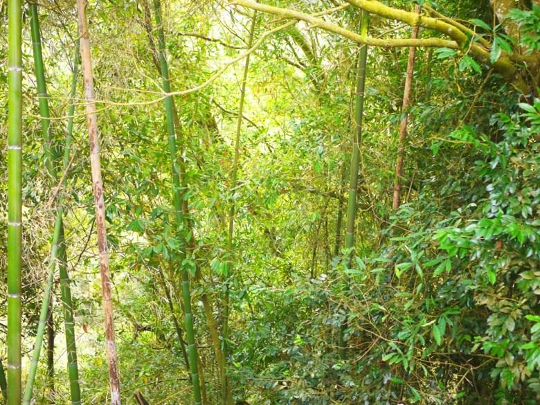 滿山滿谷的竹林 | 美麗的綠色 | 竹子 | 石壁特色 | 石壁風景區 | Gukeng | Yunlin | 巡日旅行攝
