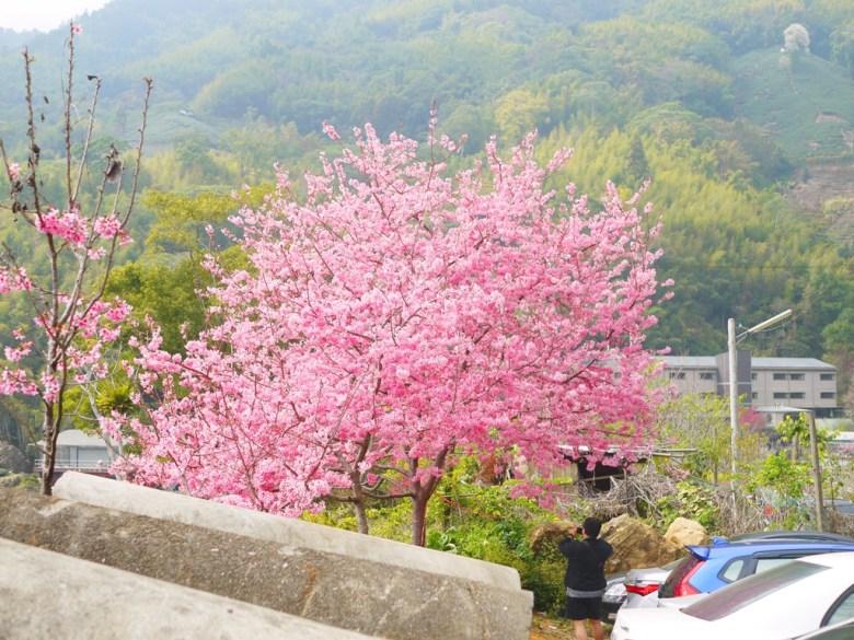 免費停車場滿開的紅粉佳人櫻花   石壁風景區   Gukeng   Yunlin   RoundtripJp