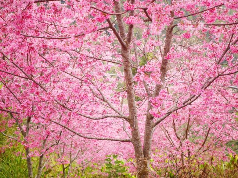 滿開的紅粉佳人櫻花   滿滿日本味   彷彿身處日本   絕美櫻花   石壁風景區   Gukeng   Yunlin   RoundtripJp
