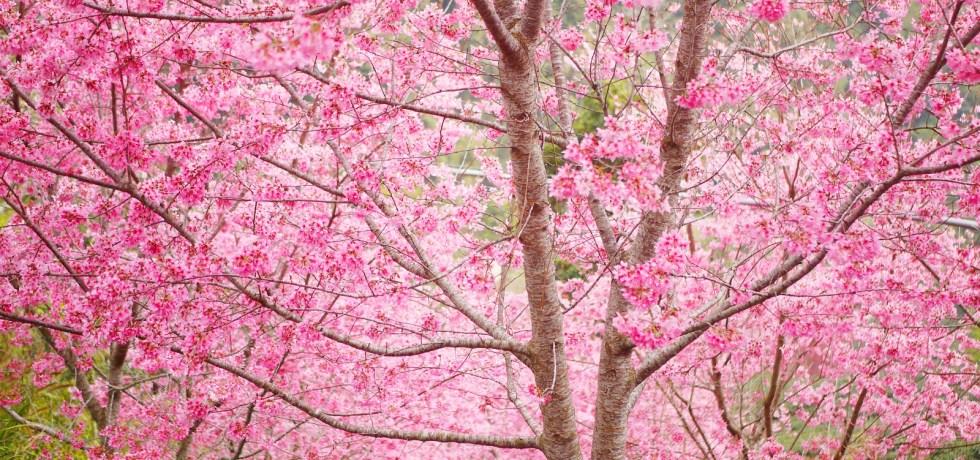 滿開的紅粉佳人櫻花 | 滿滿日本味 | 彷彿身處日本 | 絕美櫻花 | 石壁風景區 | Gukeng | Yunlin | RoundtripJp