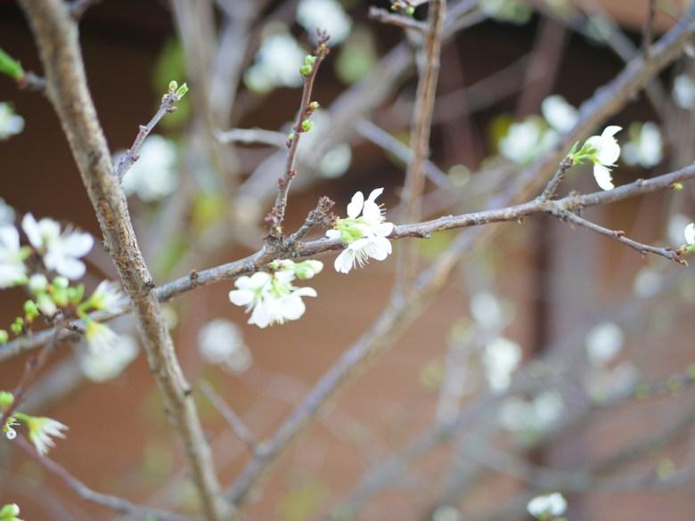 白色櫻花 | 福爾摩沙櫻花 | 絕美櫻花 | 集集 | 南投 | 集集火車站 | 巡日旅行攝