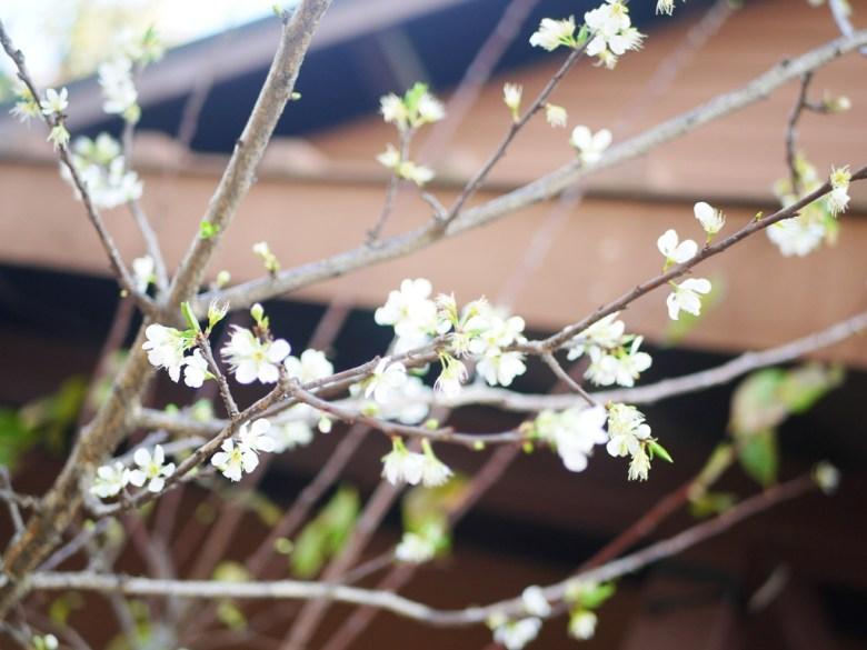 白色山櫻 | 福爾摩沙櫻花 | 絕美櫻花 | 集集 | 南投 | しゅうしゅうえき | RoundtripJp