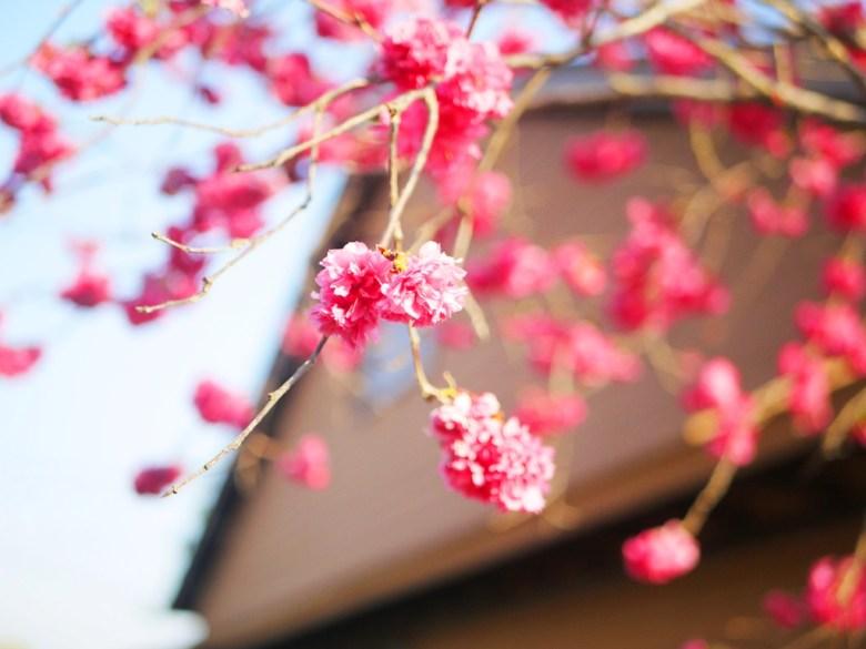 日本風情 | 櫻花車站 | 櫻花與日式車站 | 集集 | 南投 | しゅうしゅうえき | 巡日旅行攝