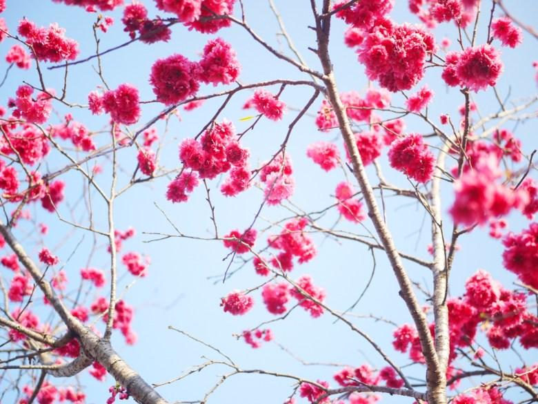 櫻花與青空 | 八重櫻 | 飽滿紅潤 | 日本味 | 櫻花車站 | 集集 | 南投 | Jiji | Nantou | RoundtripJp